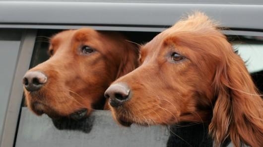 gossos finestra