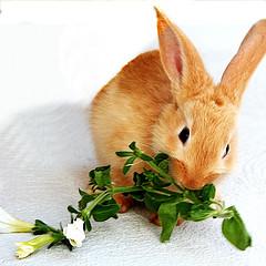 conill menjant